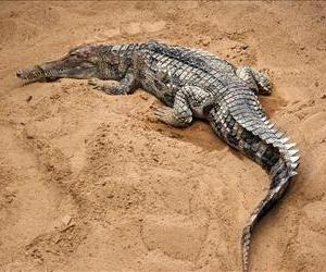 A Tomistoma schlegelii, or false gharial, is seen in this photo.