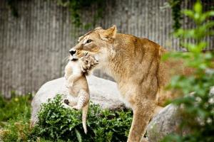 In this July 2013 file photo, a lioness carries one of her two cubs as they are presented to the public for the first time at the Copenhagen Zoo.