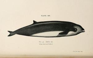 Cuvier's beaked whales are a rare sight.