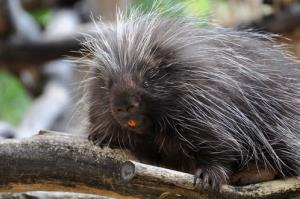 File photo of a porcupine.