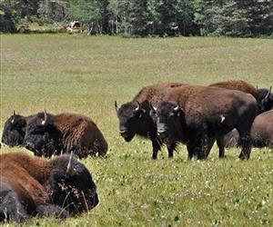 This undated photo provided by Kaibab National Forest shows bison roaming along the House Rock Wildlife Area on the Kaibab National Forests's North Kaibab Ranger District in Arizona.
