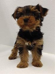 This photo taken on Monday, March 10, 2014, shows a Yorkshire terrier.