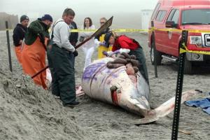 Bob Schoelkopf, left,  director of the Marine Mammal Stranding Center, looks over a minke whale that washed up in Atlantic City, N.J.