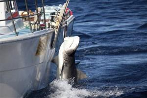 In this photo released by Sea Shepherd, a male tiger shark hangs tied up on a fishing boat off Moses Rock on the Western Australian coast on Feb. 22.