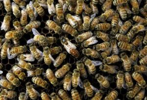 A colony of honeybees.