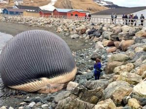 A rotting blue whale carcass sits on the shore in Trout River, Newfoundland, Canada.