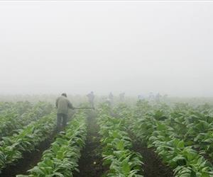 Farm workers make their way across a tobacco field shrouded in fog near Warsaw, Ky., in this July 10, 2008 file photo.
