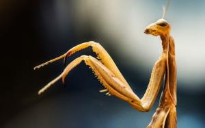 This is a stock image of more ordinary praying mantis, not the new species found in Rwanda.