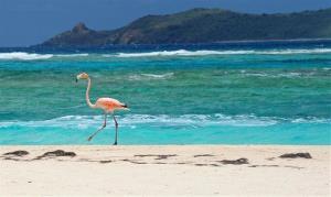 A flamingo walks along the beach on Necker Island in the British Virgin Islands.