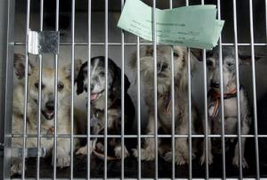 Dogs arriving at Humane Society of Missouri headquarters in 2008 after being rescued at a southwest Missouri property where they were hoarded.