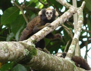 The Buffy-tufted-ear marmoset is listed as a vulnerable species because of habitat loss.