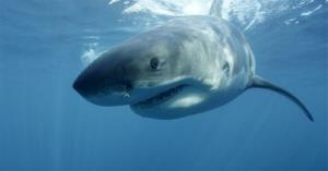 This undated publicity image released by Discovery Channel shows a great white shark near Guadalupe Island off the coast of Mexico.
