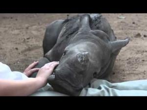 A rescued baby rhino named Gertjie likes to cuddle with his keepers at the Hoedspruit Endangered Species Centre in South Africa.