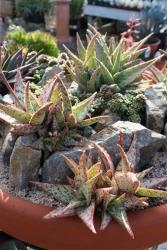 Aloe is among the ingredients in the 'Elixir of Long Life.'