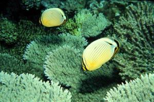 In this photo released by US Fish and Wildlife Service, butterfly fish swim near the Johnston Atoll, one of seven islands strung along the equator in the central Pacific Ocean.