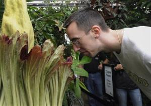 A corpse flower, also known as titan arum, blooms in Connecticut.
