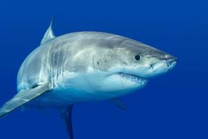 Great white shark populations are climbing on the East Coast, experts say.