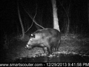 This Dec. 29, 2013 trail camera photo shows a large feral hog as it forages near a trap set by trapper John Schmidt in New Orleans.