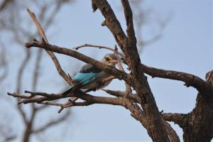 This March 2, 2013 photo shows a kingfisher in Botswana's Okavango Delta.