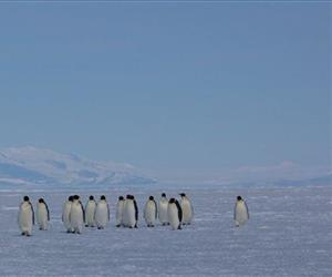 In this Dec. 9, 2012 photo released by Thomas Beer, emperor penguins walk across sea ice near Ross Island, Antarctica. The continent's pristine habitat provides a laboratory for scientists studying the effects of climate change.