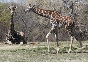 File photo of a young giraffe testing its legs at the Oklahoma City Zoo.
