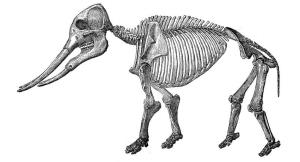 Illustration of a gomphothere skeleton.