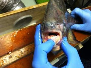 This pacu is now in Luft's freezer.
