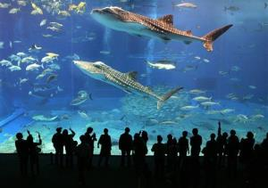 In this Feb. 14, 2007 photo, whale sharks swim at the Churaumi Aquarium in Okinawa, southern Japan.