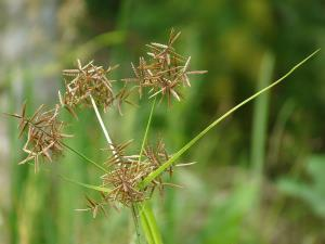Purple nut sedge, an apparently healthy snack.