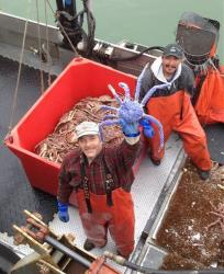 Crab fisherman Frank McFarland holds up a rare blue-colored red king crab he caught in Nome, Alaska.