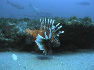 In this July 2006 file image released by NOAA Undersea Research Center, a lionfish swims at a depth of about 130 feet, roughly 55 miles off the coast of North Carolina.