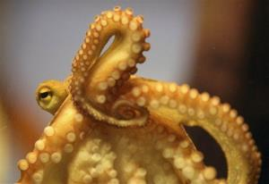 Male octopuses need to keep their distance during mating.