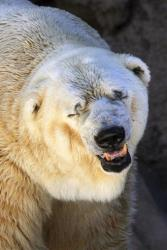 Arturo, a 28-year-old polar bear, stands inside his cage at a zoo in Mendoza, Argentina.