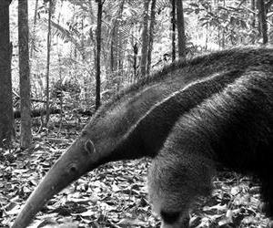 This image provided by Instituto Nacional de Pesquisas da Amazonia shows a giant anteater in Manaus, Brazil.