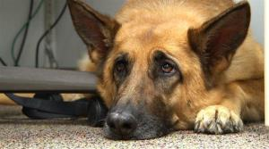 This is a Feb. 18, 2014, file photo of a German shepherd, much like Doctor.