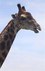 File photo of a giraffe at the St Lucia Estuary park in South Africa.