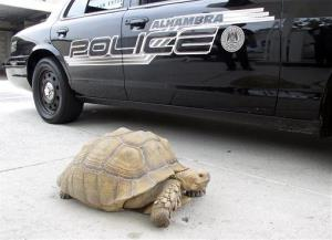 This Aug. 2, 2014 photo provided by the Alhambra Police Department shows a giant 150-pound tortoise who was found wandering the streets of Alhambra, Calif.