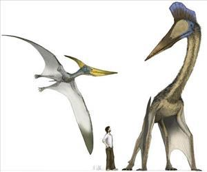 This handout illustration provided by Johns Hopkins shows the 30-foot wingspan of the toothless pteranodon, left, which was surpassed by that of Hatzegopteryx, right, at 40 feet or more.