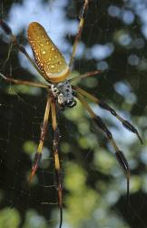 A female golden orb-weaving spider.
