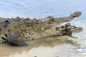 In this undated photo provided by the National Geographic Channels, an American crocodile prepares to eat a blue crab in Florida Untamed.