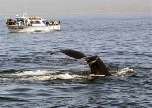 A humpback whale dives near a whale-watching boat in Monterey Bay.