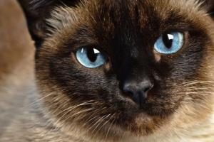 A Siamese cat like this one is torn between two families in New Zealand.