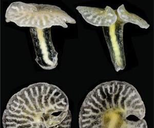 The newly described animal species Dendrogramma enigmatica