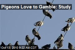 Pigeons Love to Gamble: Study