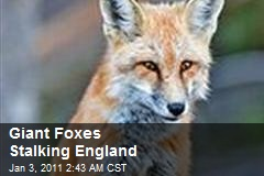 Giant Foxes Stalking England