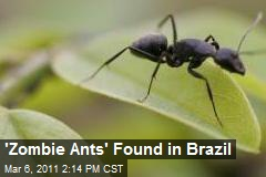 'Zombie Ants' Found in Brazil