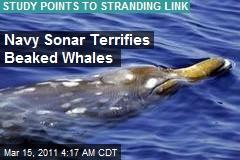 Navy Sonar Terrifies Beaked Whales