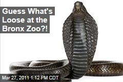 Egyptian Cobra Missing at the Bronx Zoo's Reptile House