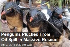 Penguins Plucked From Oil Spill in Massive Rescue