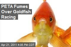 PETA Fumes Over Goldfish Racing